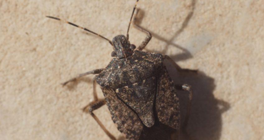 Stink Bug Sydney